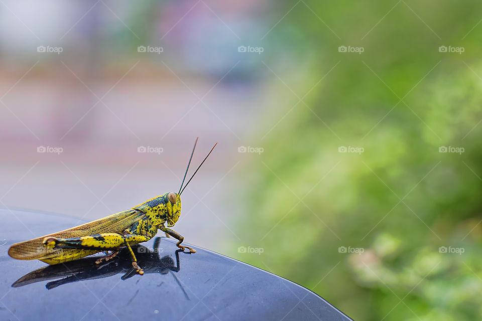 Close-up grasshoper bug