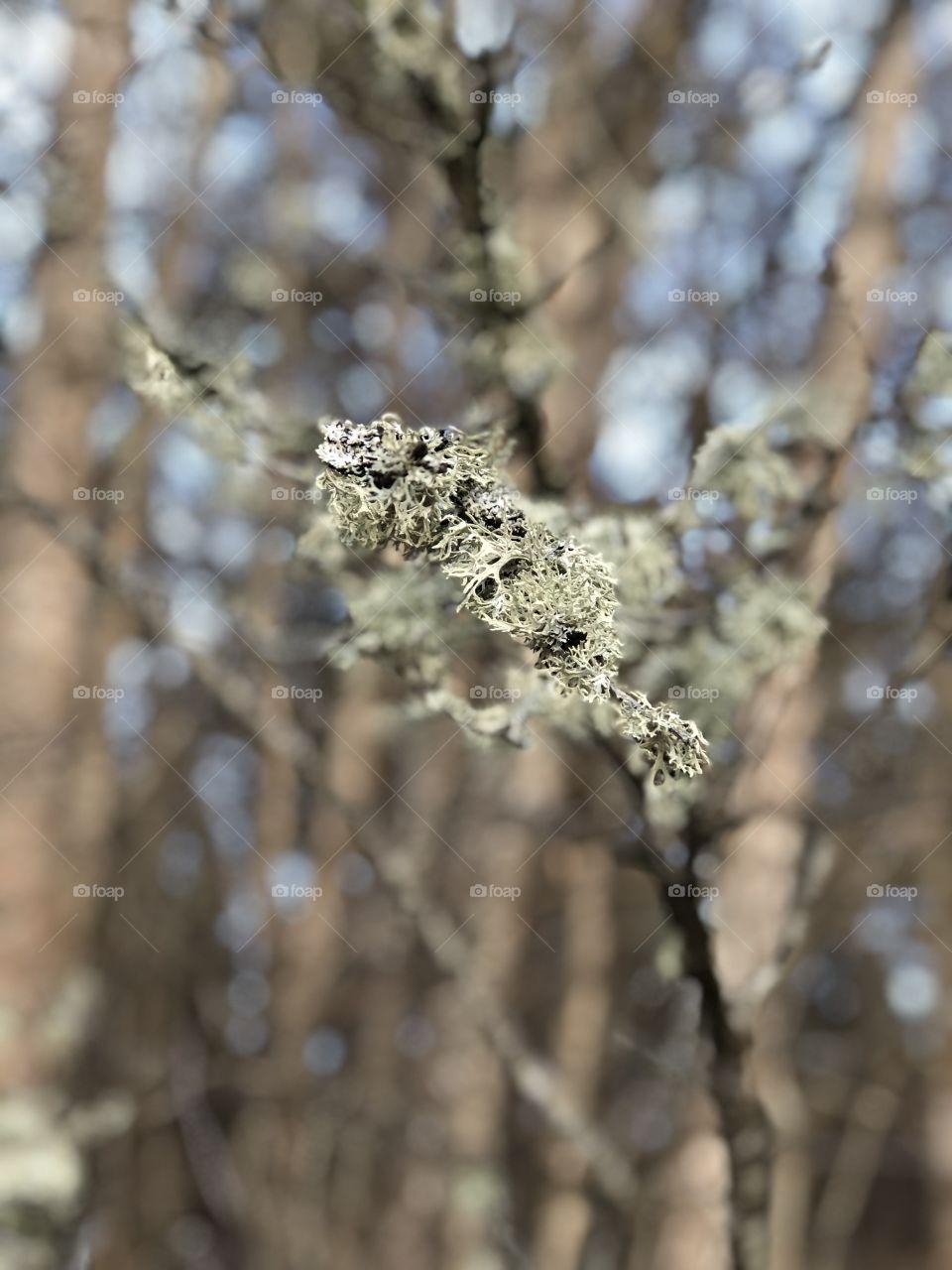 Lichen on a branch