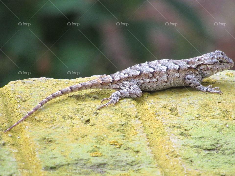 Eastern fence lizard basking in the sunshine