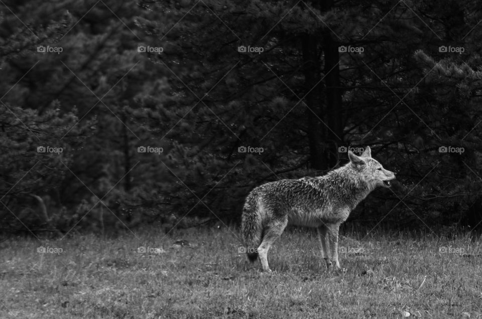 coyote in the wild in Yellowstone