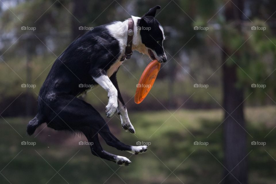 A dog catch frisbee