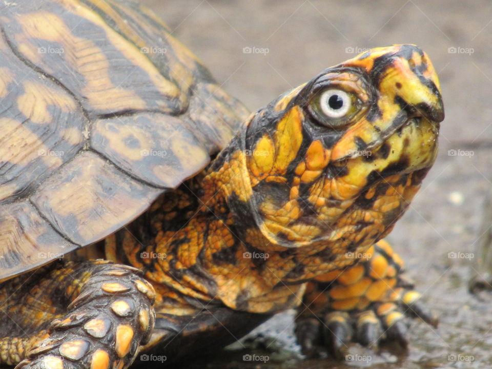 Portrait of a Eastern Box Turtle