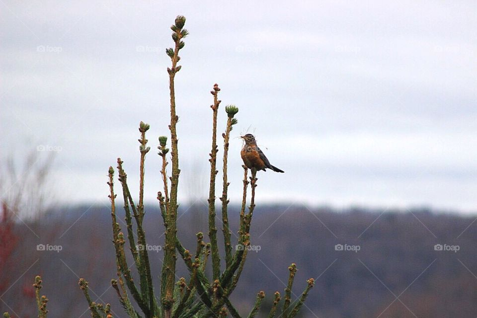 A robin atop a pine tree, with a beak-full of materials to build a nest.