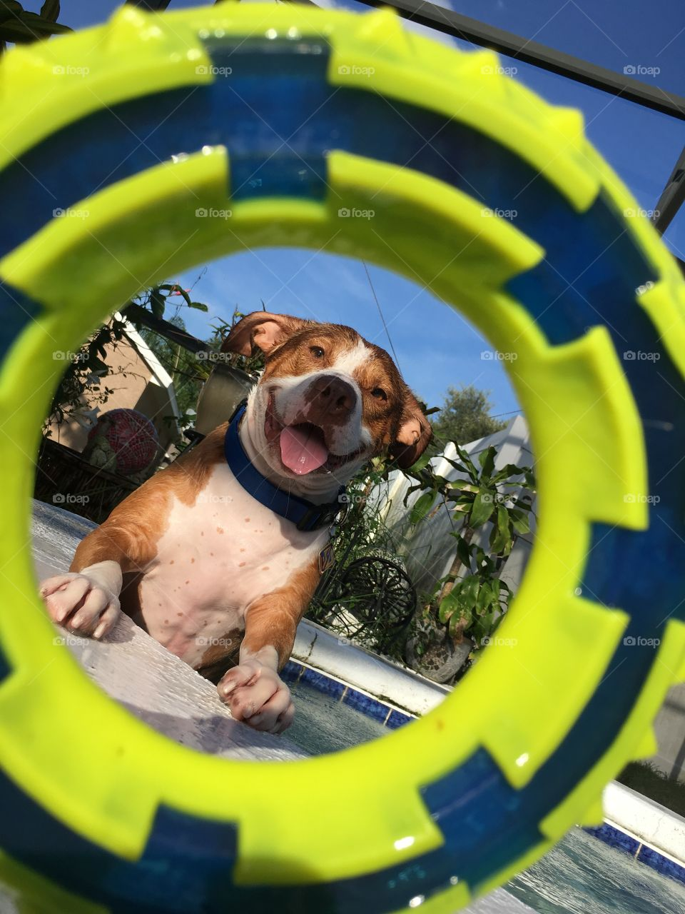Portrait of a happy pitbull through his toy in the pool