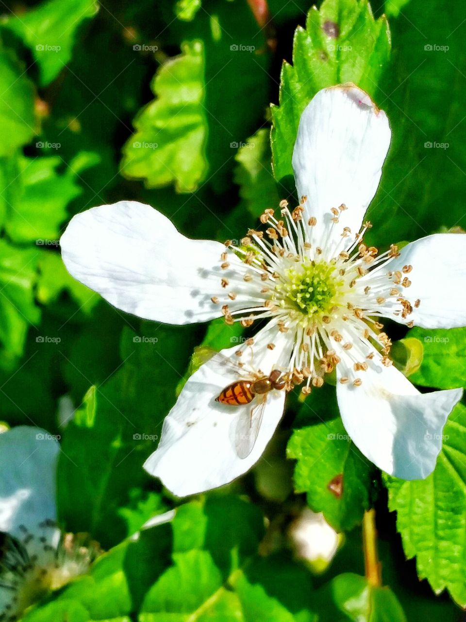bug on black berry bloom