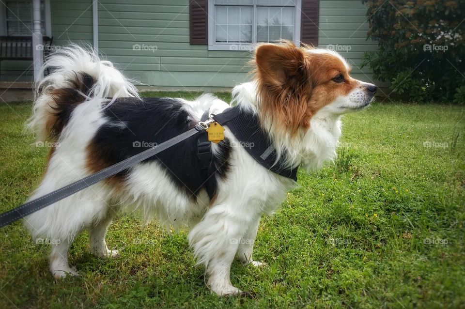 Papillion Out for a Walk in Summer