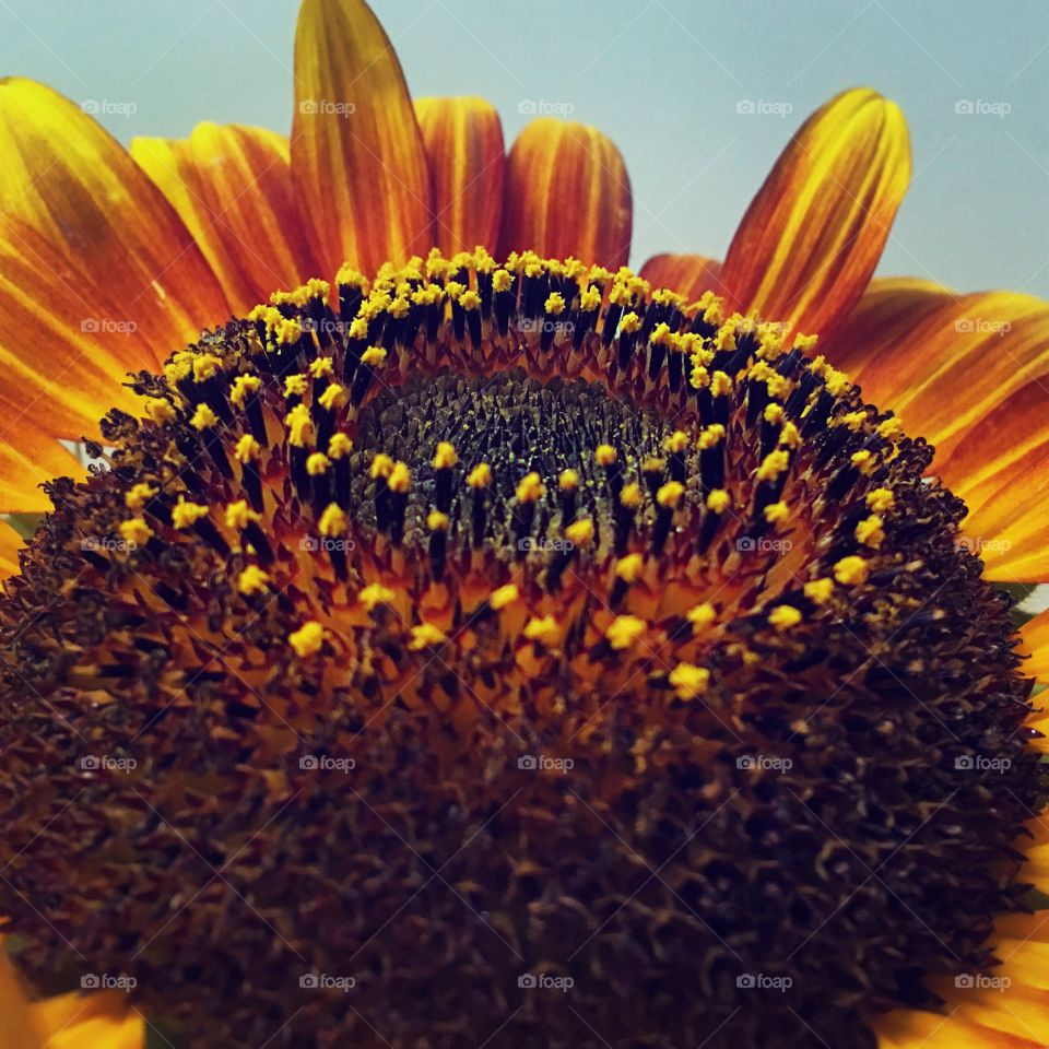 Close-up of a sunflowers
