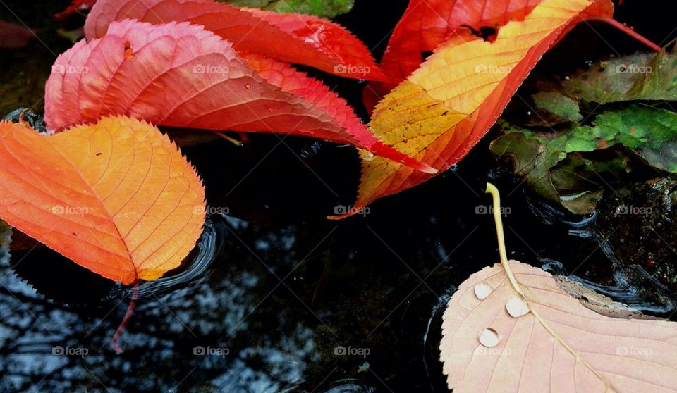 Autumn leaves floating on the water