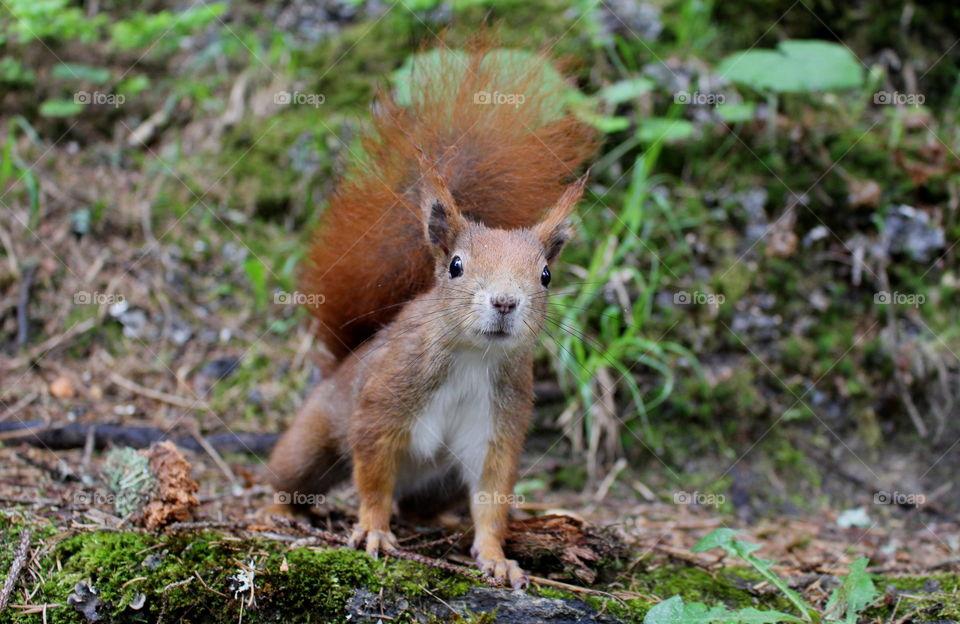 Curious squirrel, wild life.