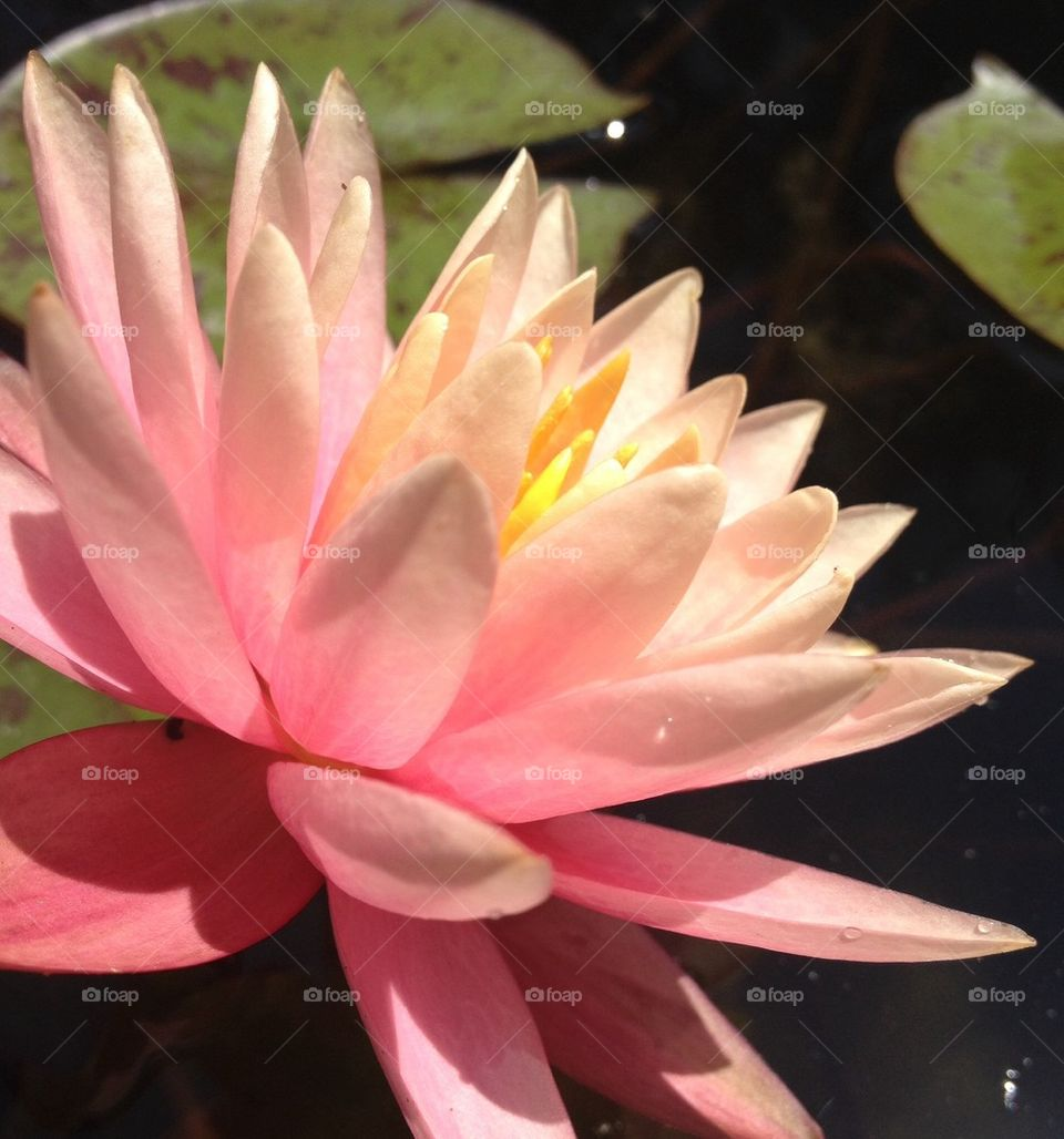 Lotus Close up