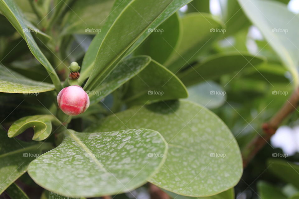 Macro shot of a red bulb flower and big green leaves in a greenhouse