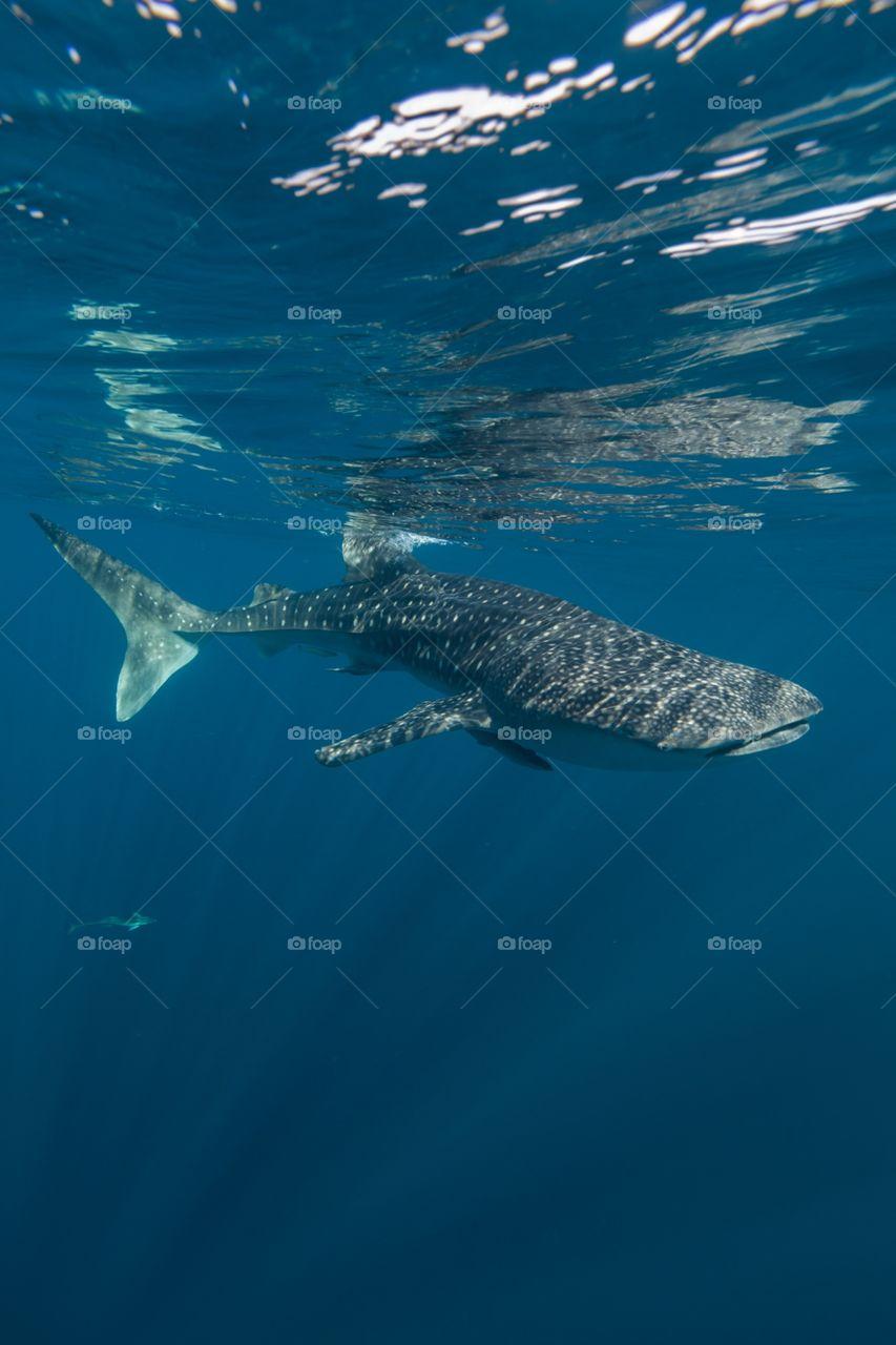 Whale shark underwater. Taken in west Papua cenderawasih bay