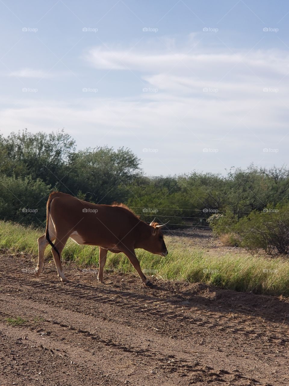 cow crossing in front of us on the road