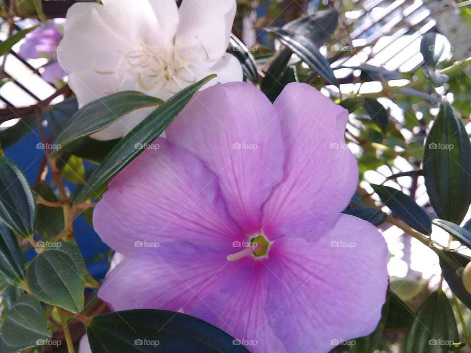 Manaca da serra.  ( tibouchina mutabilis) Tree typical of the Brazilian Atlantic forest.  The flowers are Born white,they stay pink and die purple.