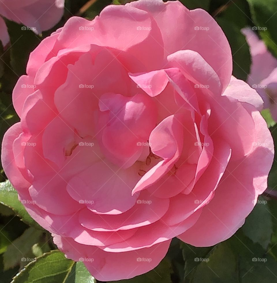 Lovely And Beautiful Pink Rose Close Up Summer Sunshine Morning
