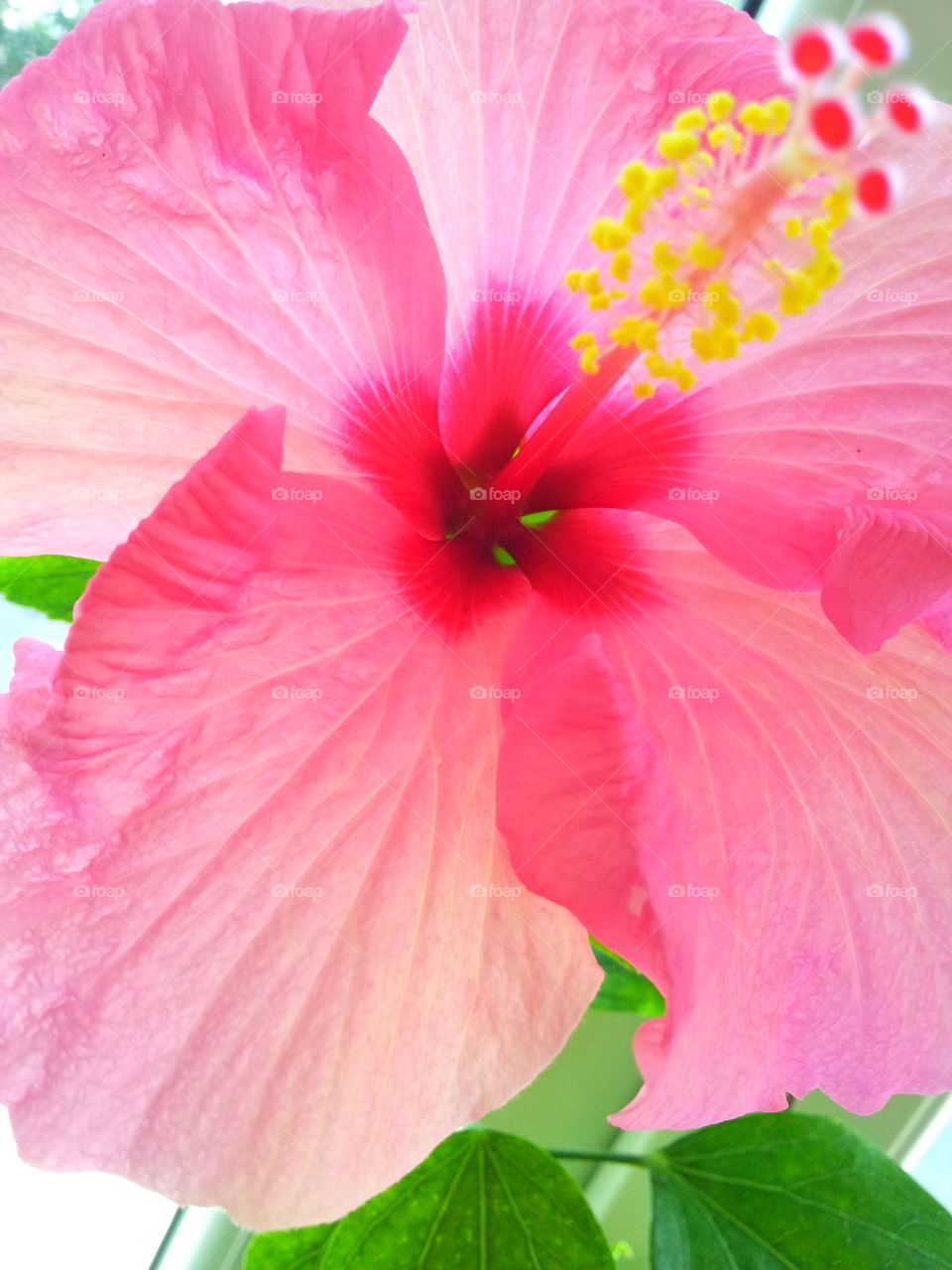 Close-up of hibiscus flower