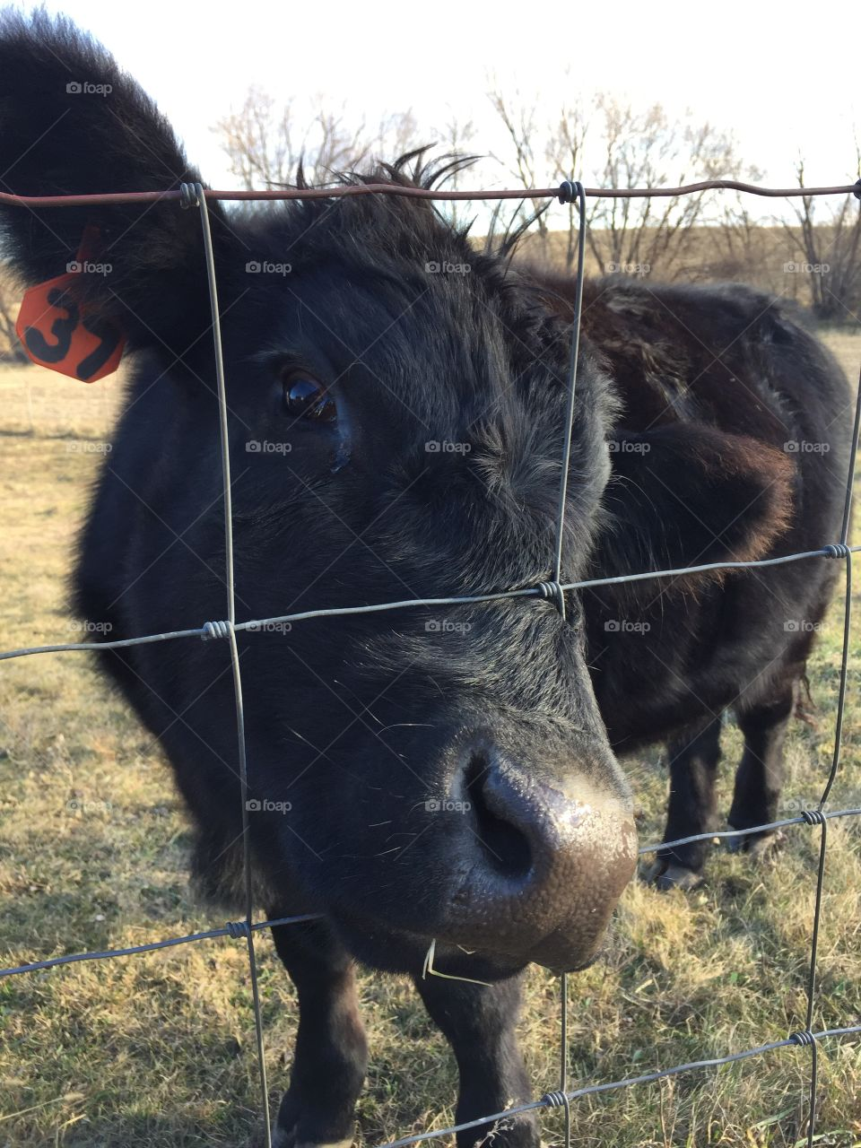 A cute and curious black steer pokes his nose through a wire fence hoping for something green to eat - the pasture is getting bare!