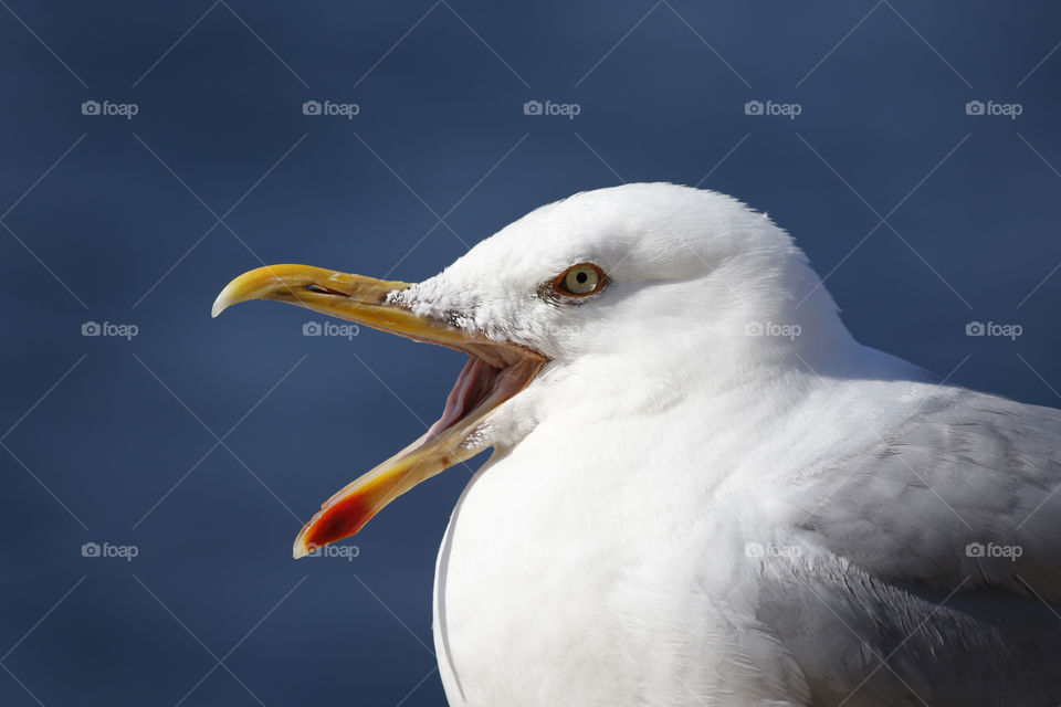 Seagull portrait close-up  Mås gråtrut  närbild