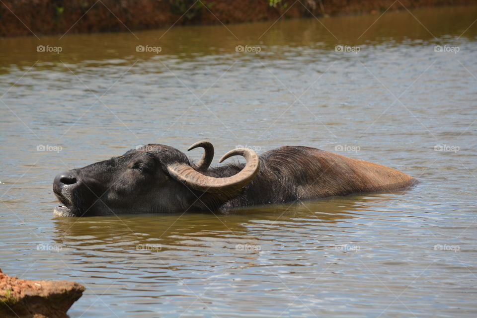 Water buffalo in a pond