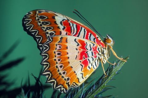 Close up of a Southern Festoon butterfly.