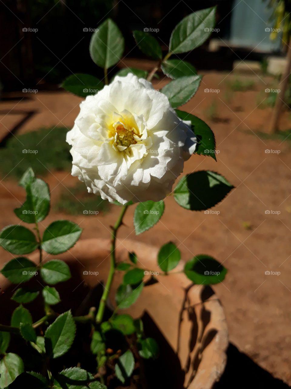mini rosa branca