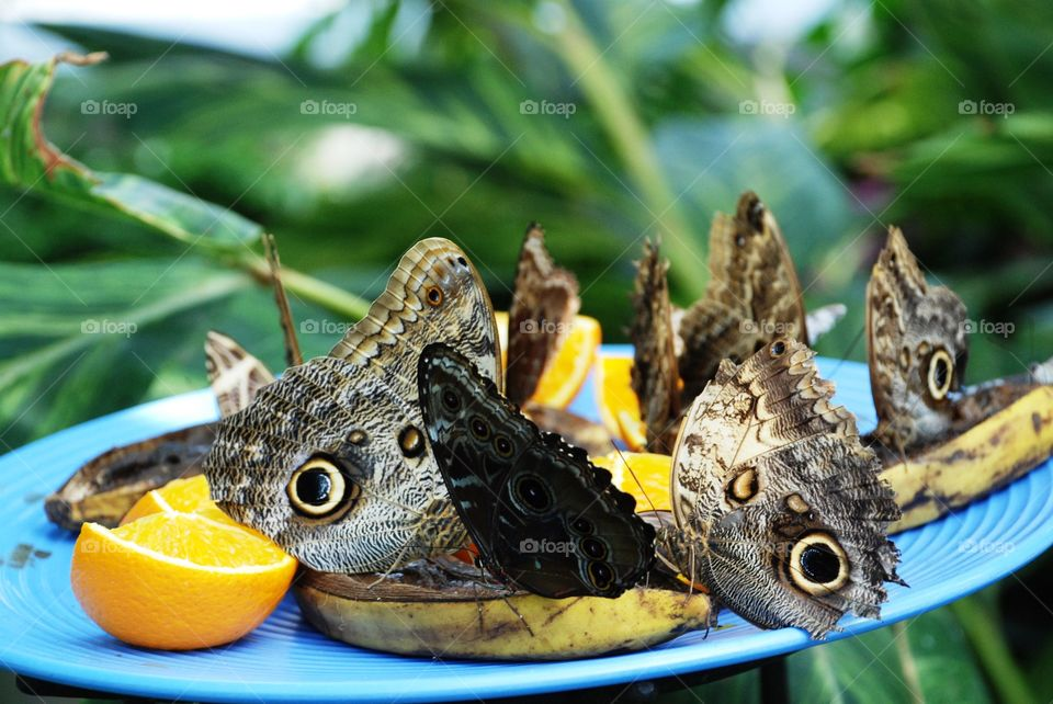 Owl butterflies and a Blue Morpho butterfly snacking on some fruit
