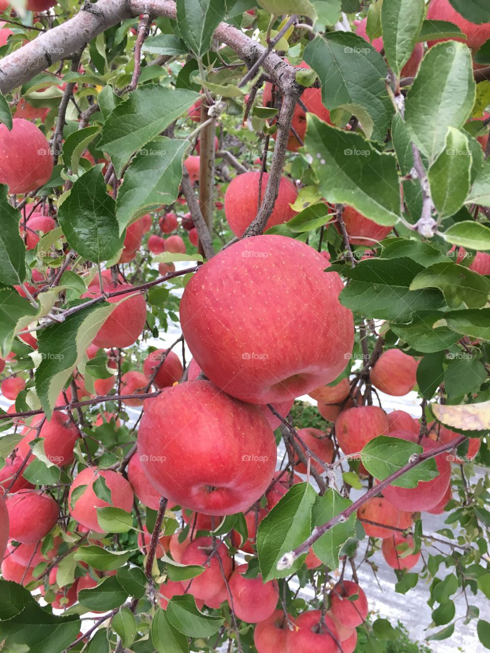Japanese apples of 1kg each in Yamagata, Japan
