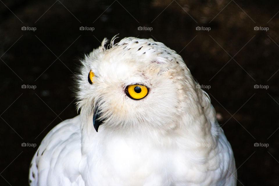One of my favourite bird. Wise white owl.