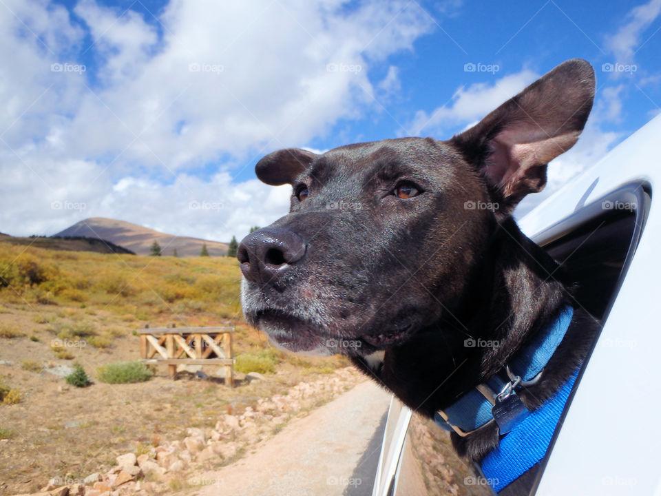 Black lab Bradley loves to take scenic drives!