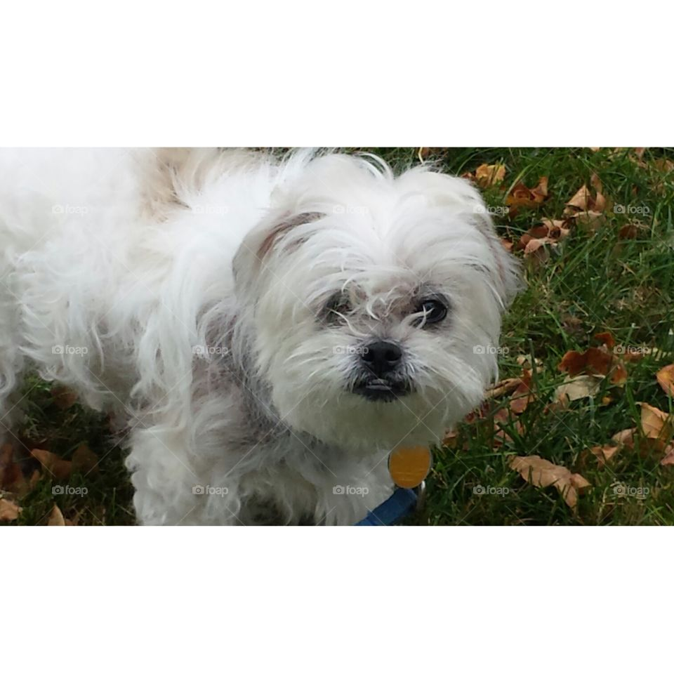 Sophee....our 1 eyed Pekon Dog. Half Pekingese / Half Bichon ...14 yr family pet.One eye never developed. But we loved her.