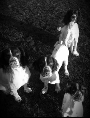 English Springer Spaniel gun dogs