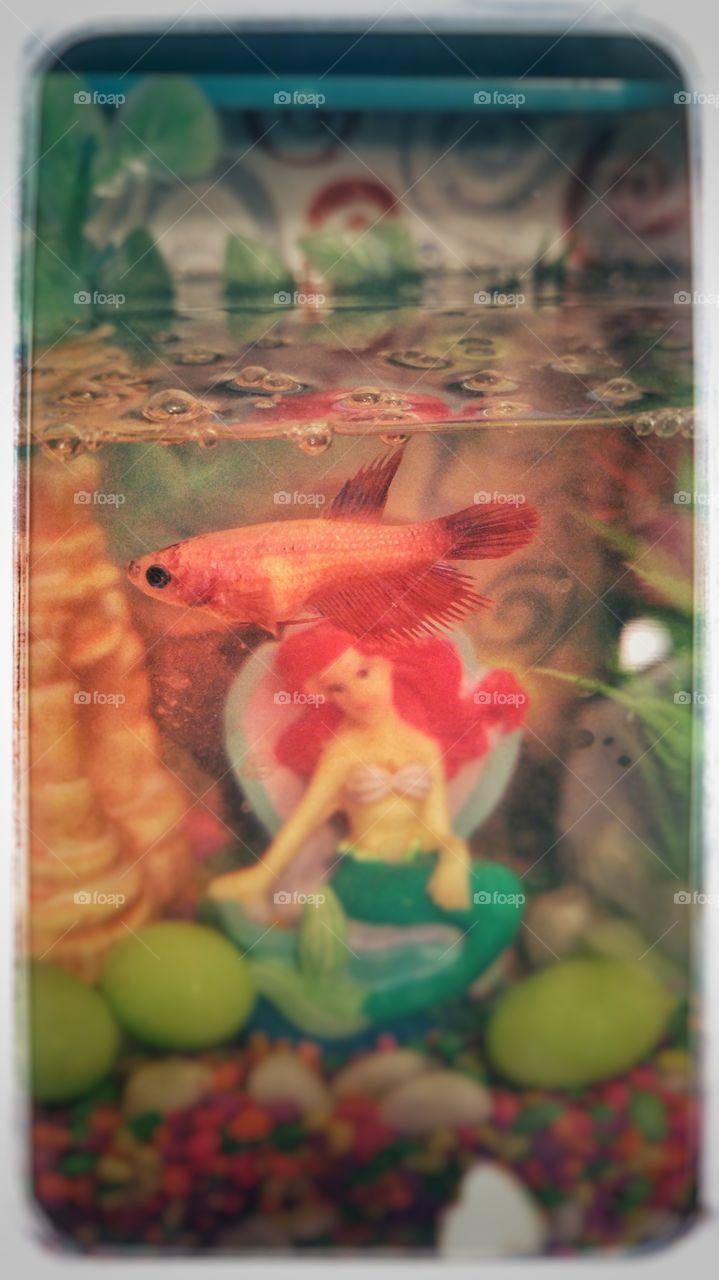 Female beta fish