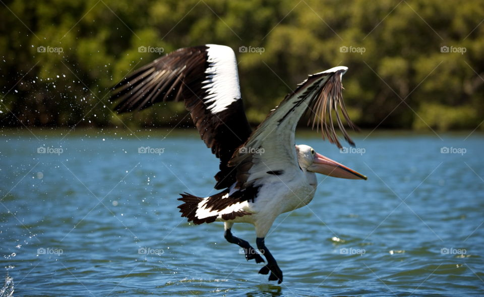pelican takes flight on a Queensland river