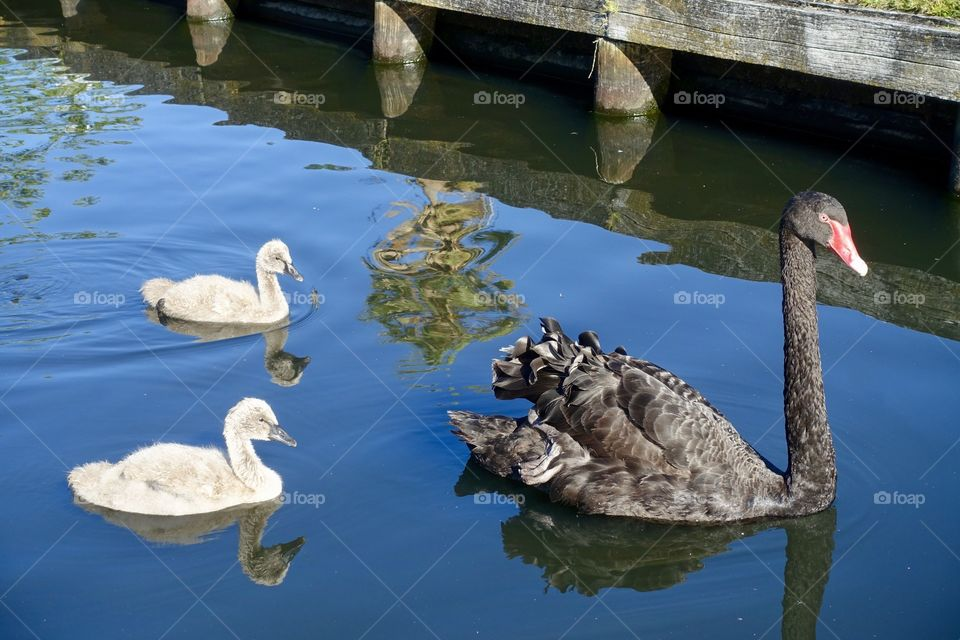Two cygnets of black swan and a parent are spending on the water.