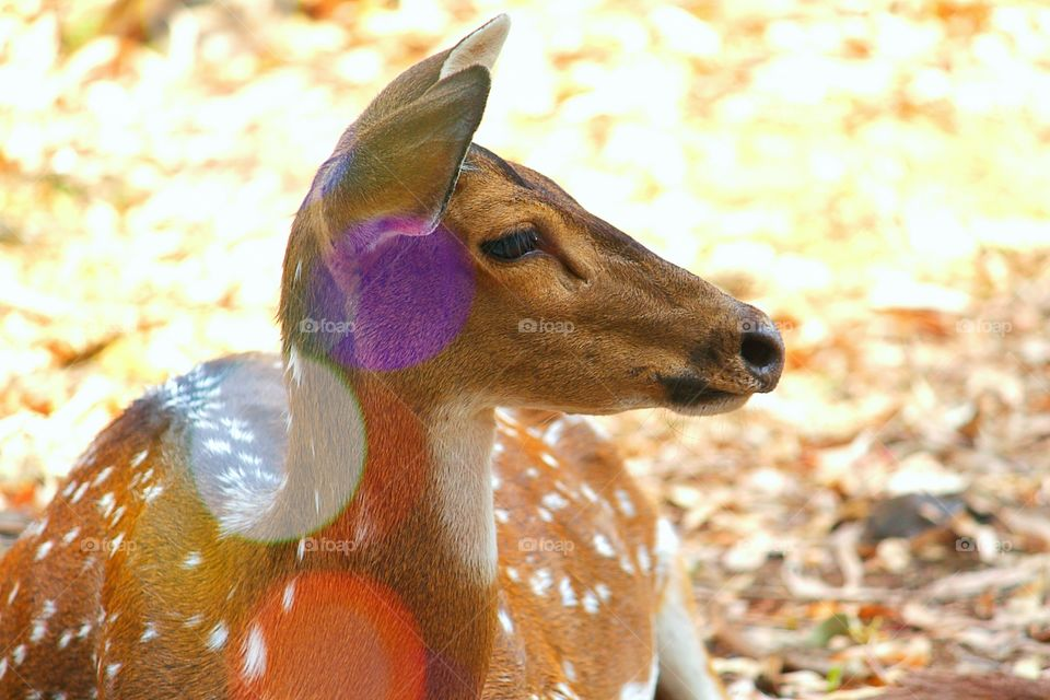 Close-up of a resting deer