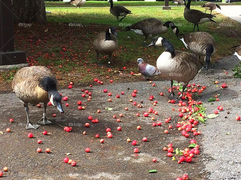Autumn is here  Canada geese eating crabapples