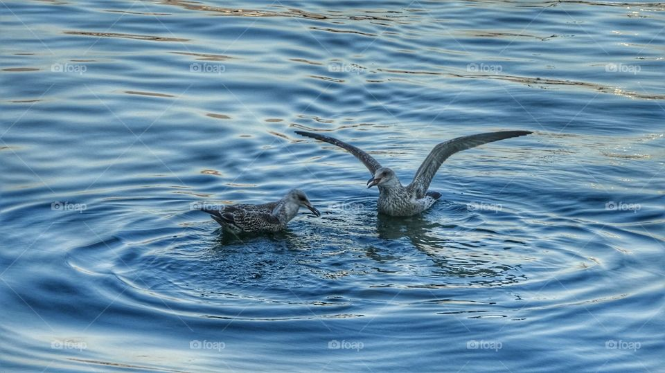 Seagulls swimming in pond