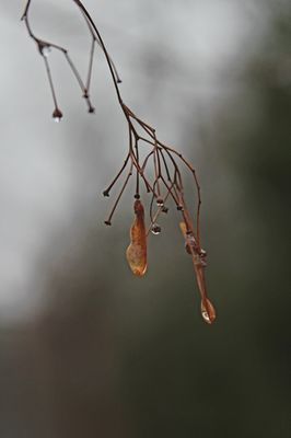 water drops off of maple tree