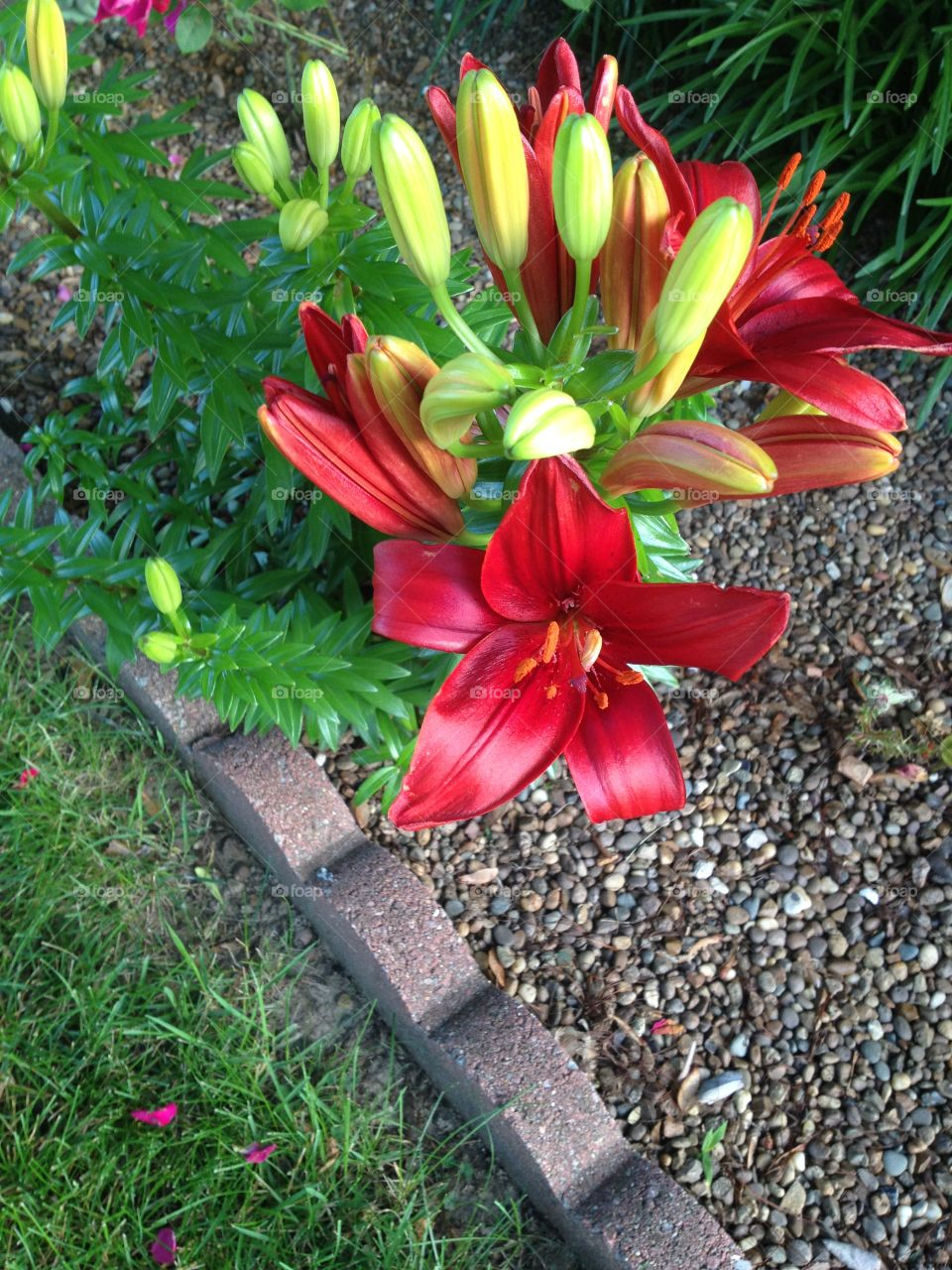 Pixie Lily . Blooming flowers