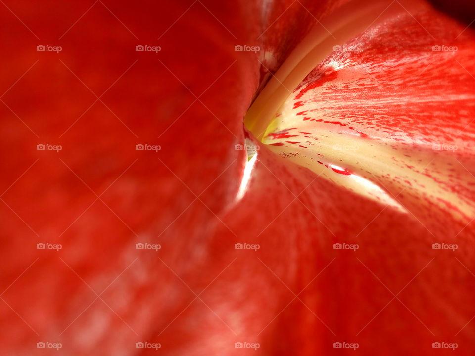 Inside the flower. Red petals