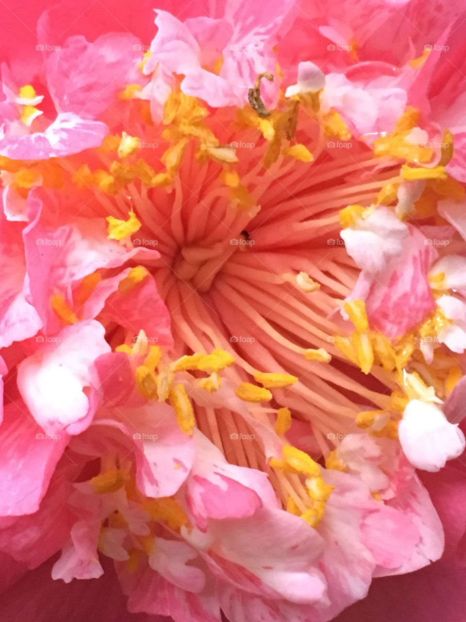 Close up camellia