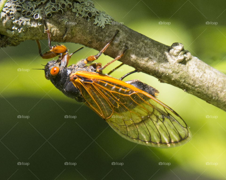 Cicada on the underside of a branch