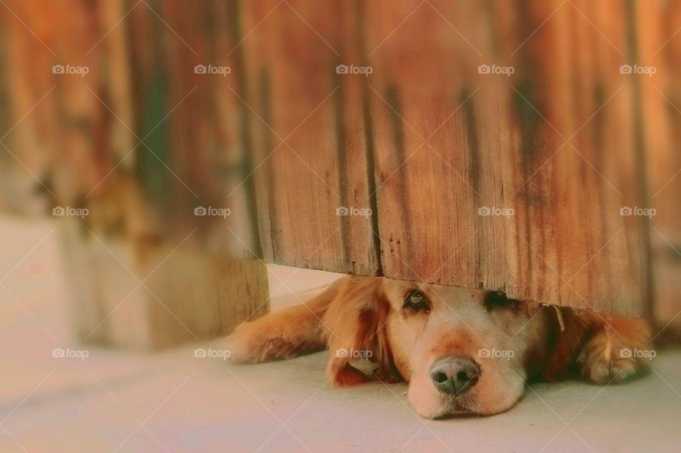 Golden retriever looking under fence