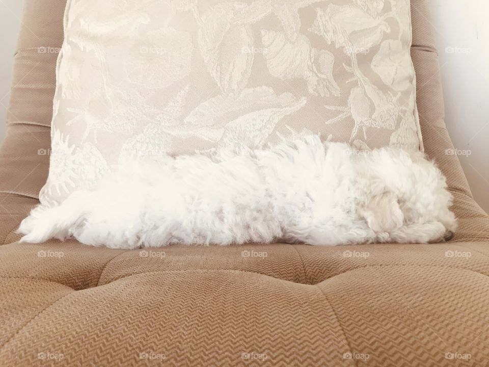 There's a pile of white fluff asleep. A furry white Bichon baby stretched across the chair beside subtle shell pillow.