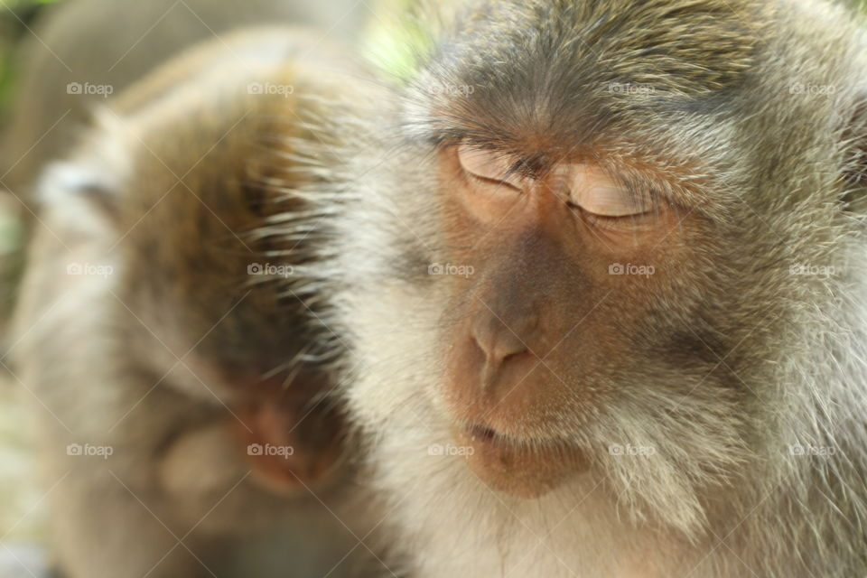 Sleeping monkey of the Ubud temple. . another shot of the same monkey using the same lens from a different angle.