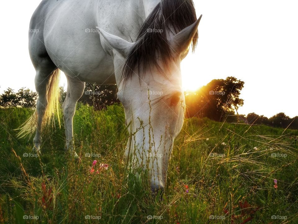 Horse grazing in a field of wildflowers and grass at sunset