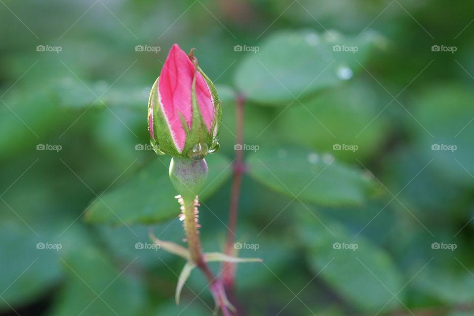 Rose Bud, Rose Blossom, Rose In The Springtime, Dew On A Flower, Colorful Rose