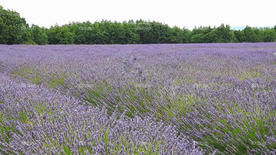 Lavander field in Provence, France