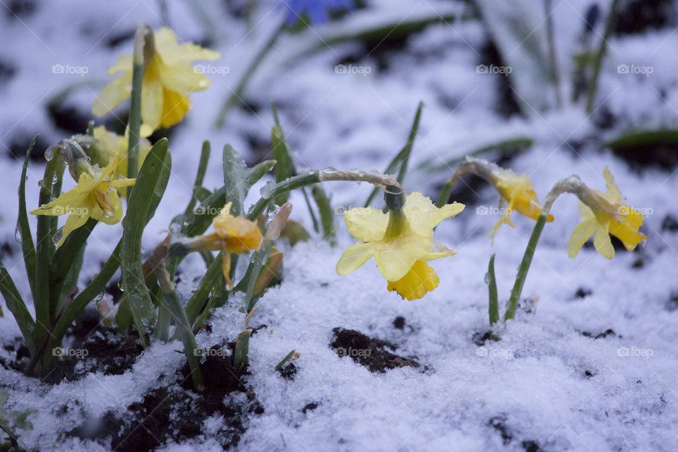 Yellow Daffodil flowers on snow