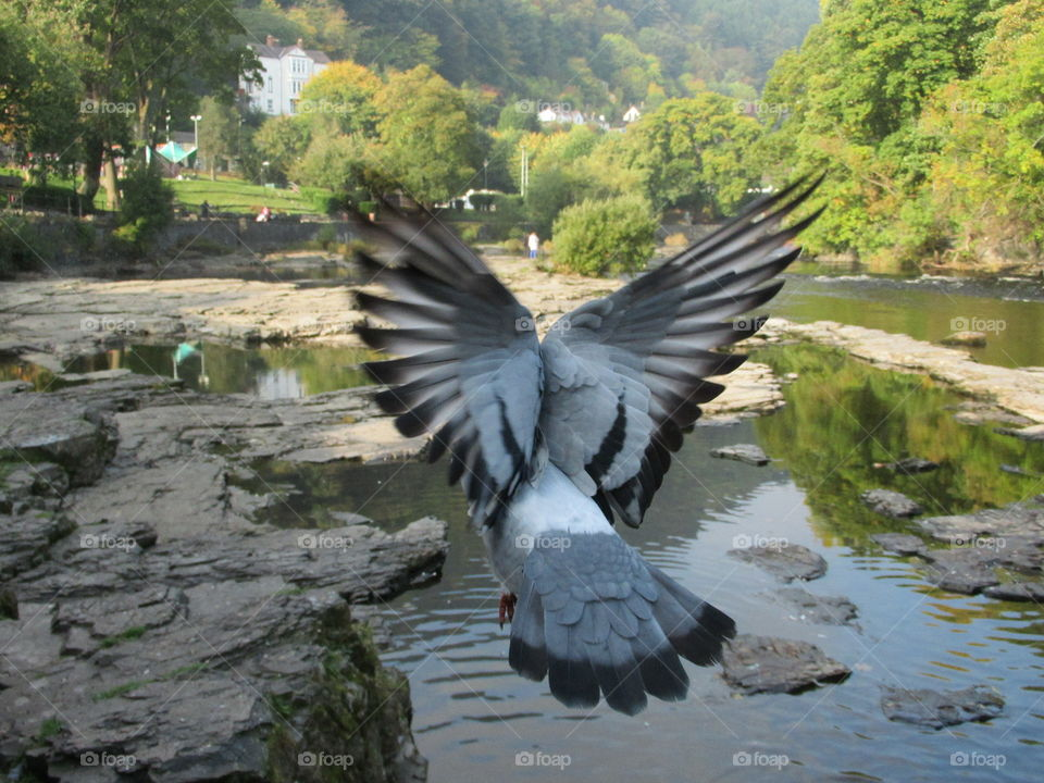Pigeon taking flight